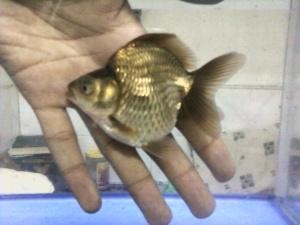 ikan koki ryukin