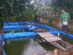 kolam terpal jenis ikan mas koki