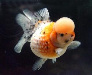 ikan koki mutiara jambul